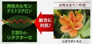 ヒオウギは遺伝性のM字ハゲを抑える