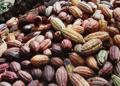 ココアの原料はカカオ豆