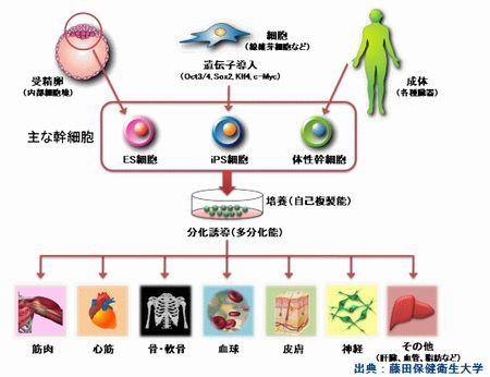 幹細胞の種類