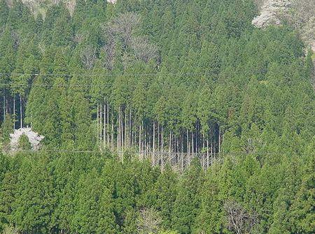 杉の植林でスギ花粉症が増える