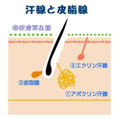 汗腺と皮脂腺