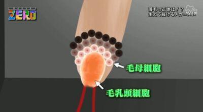 髪の毛は毛母細胞と毛乳頭細胞が作る