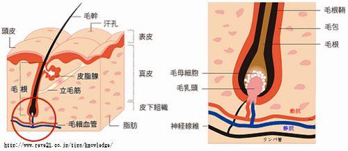タバコにより毛母細胞の血流が悪くなると薄毛になる