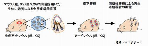 理研の成果で薄毛の再生医療が加速化