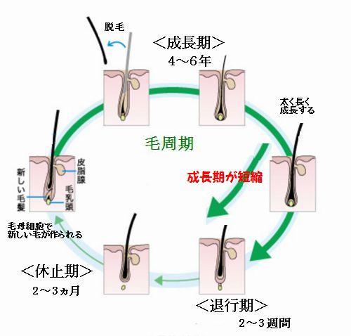 薄毛ではと毛周期(ヘアサイクル)の成長期の短縮と大きな関係がある