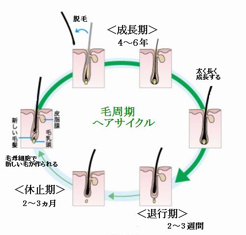 効果的な育毛には薄毛と毛周期を理解する必要がある