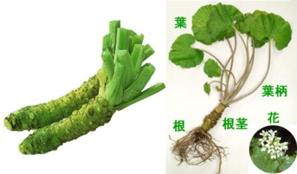 本わさびの育毛成分は本わさびの根茎に含まれる