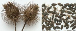 ゴボウの皮や種には育毛に効果がある成分が含まれる
